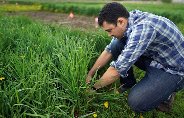 University of Minnesota research professor Jacob Jungers checked the growth of Kernza at a field at the U's St. Paul campus in 2019.