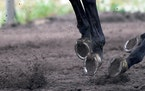 A horse kicked up dirt while being ridden during exercises.