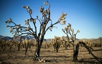 """A fire in California last October burned 1.3 million Joshua trees. New Park Service """"tool kit"""" is helping guide ecological decisions."""