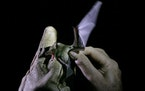 A Mexican long-tongued bat is examined by Mexico's National Autonomous University, UNAM, Ecology Institute Biologist Rodrigo Medellin after it was c