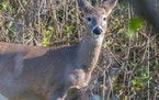 State officials earlier this month confirmed the latest spread of chronic wasting disease has taken the dreaded deer threat as far north as it's eve