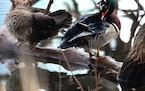 A pair of wood ducks preened atop a tree branch in Loring Park in Minneapolis.