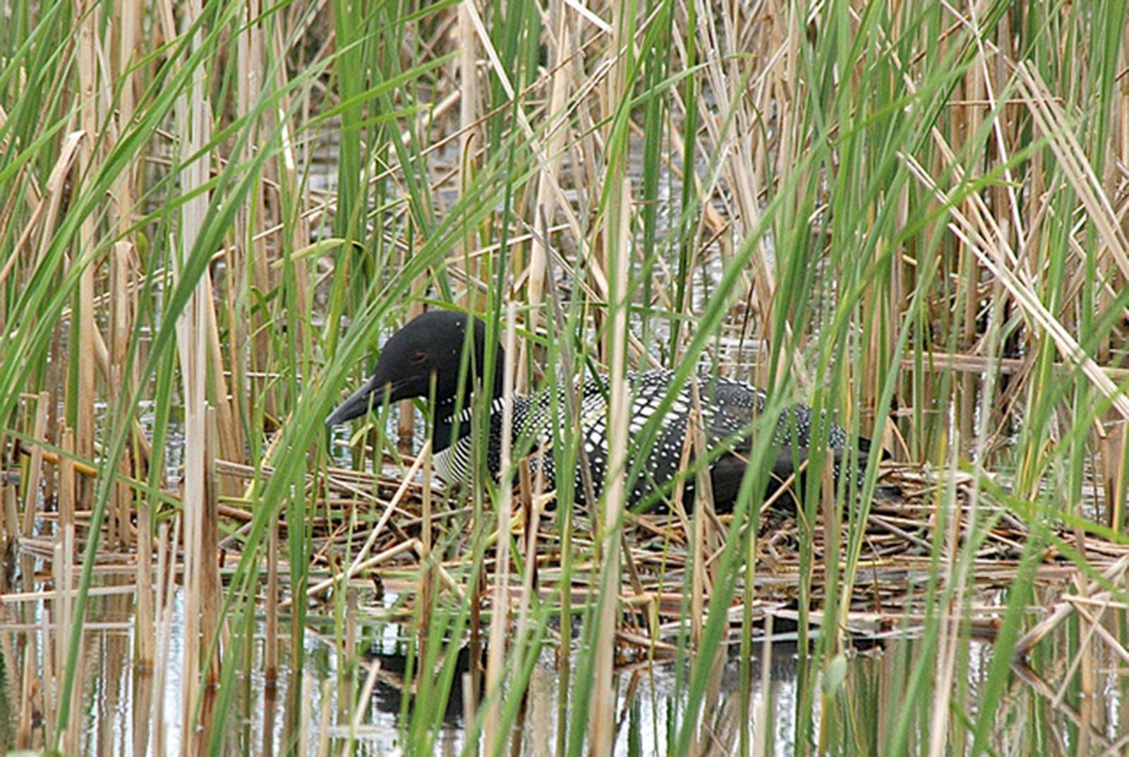 Loons nest in quiet hidden spots of lakeshore.