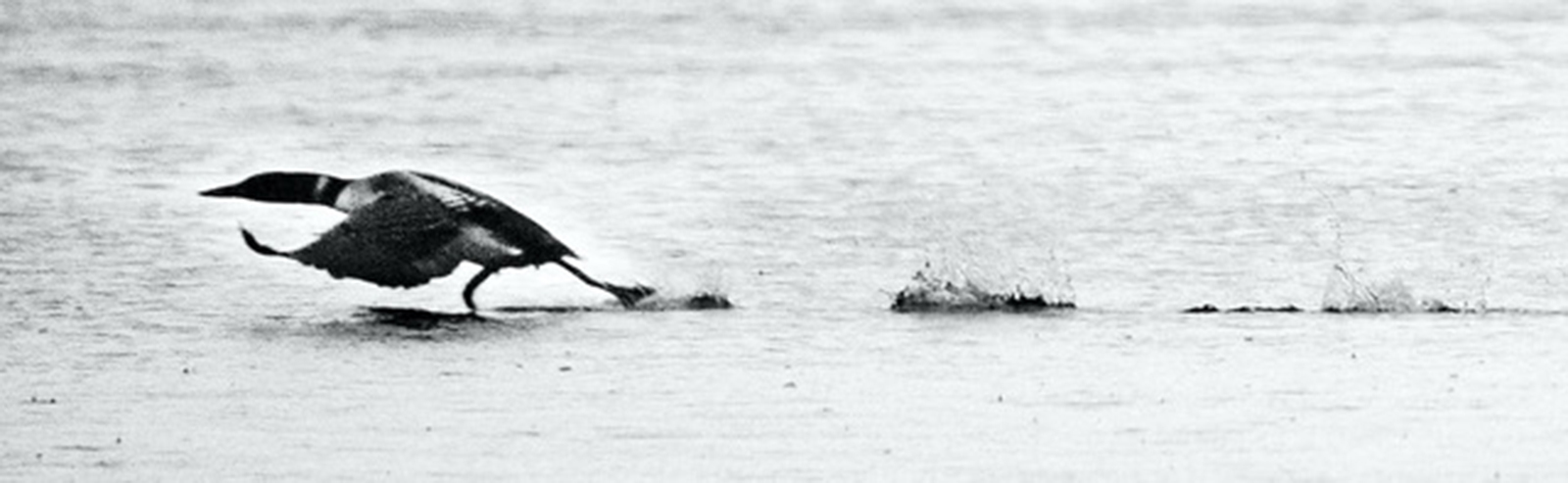 Loons splash across the water to gain the speed needed for flight.