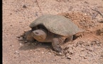 Snapping turtles will cover their eggs and try to make the nest look inconspicuous.