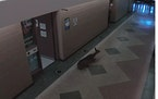 A deer crashed through the nurse's office, before making its way into the main hallway and out the front door.