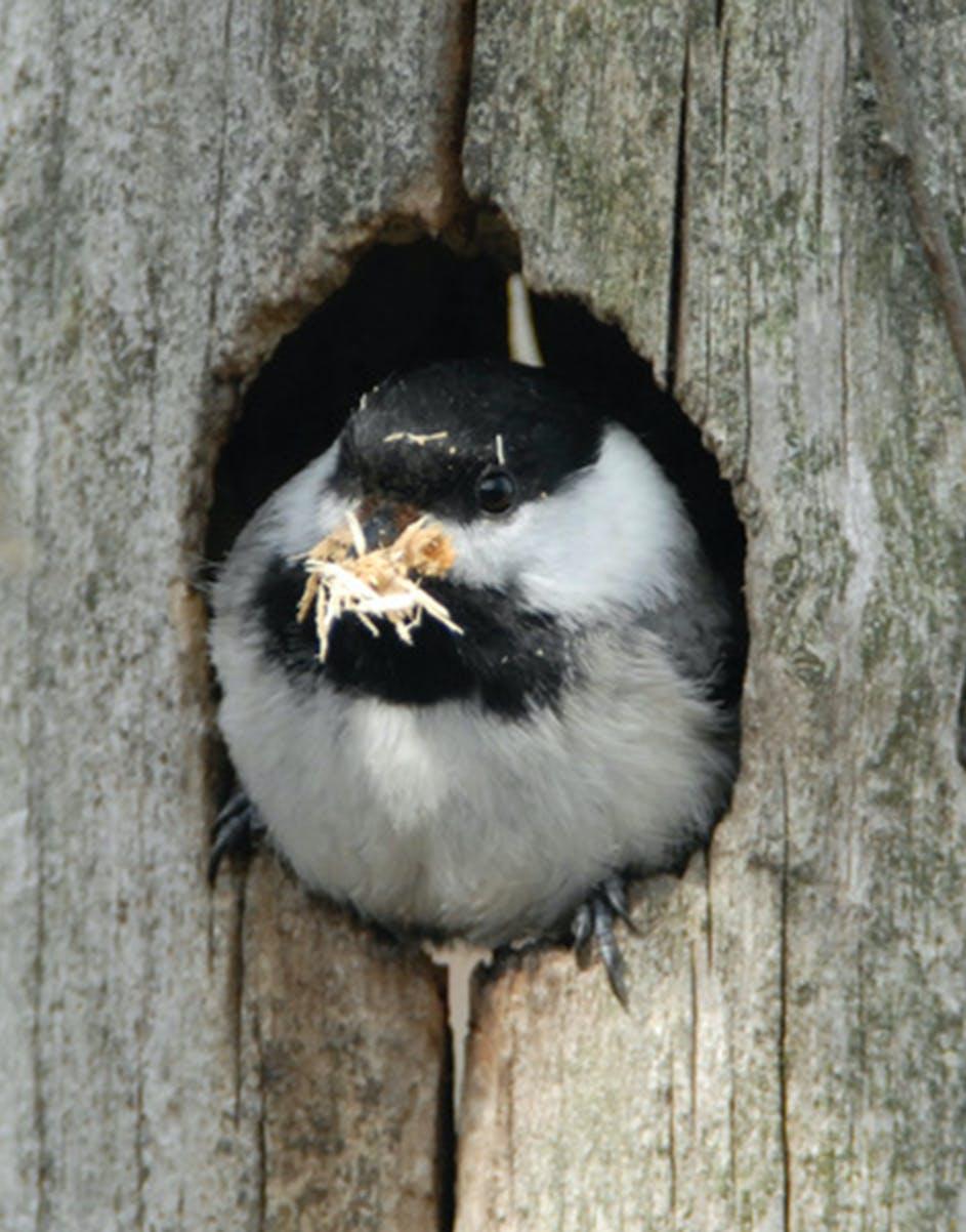 Black-capped chickadee.
