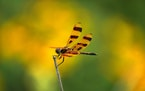 A Halloween pennant dragonfly perched on the end of a dead stem at Crow-Hassan Park Reserve.