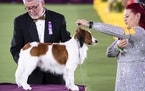 A Nederlandse Kooikerhondje competes in the sporting group final at the Westminster Kennel Club Dog Show, held at the Lyndhurst Mansion in Tarrytown,