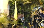 People come to see the rare blooming of the endangered Sumatran Titan arum, or the corpse flower, that is in full bloom for just a few hours, emitting