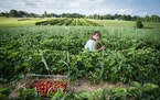 Kamryn Stainbrook, 7, of Rogers picked strawberries at Berry Hill Farm in Anoka last summer.