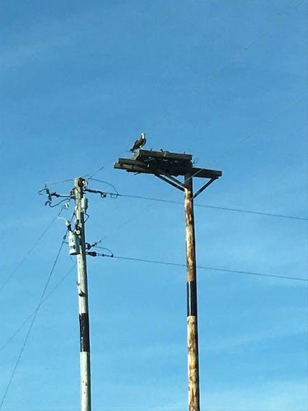 An osprey sits atop a newly installed platform on June 7 near Grey Eagle, Minn.