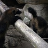 A pair of female wolverine kits, born from the only captive breeding pair of wolverines in the U.S. at the Minnesota Zoo, frolicked around their enclo