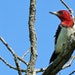 An innovative effort to lure the rare red-headed woodpecker to nest in the Crow-Hassan Park Reserve is underway.