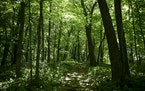 """A trail in the """"Big Woods"""" was photographed Friday. AARON LAVINSKY • aaron.lavinsky@startribune.com"""