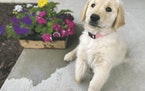 """marvel of a match Fluffy pup Marvel was born without a front right paw. Barb Felt, who has raised golden retrievers for 40 years, said """"she'd be t"""