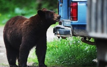 Black bears are a hungry lot and often look to human sources for food.