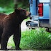 Black bears are a hungry lot and often look to human sources for food.  Credit: David Joles/Star Tribune