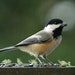 Black-capped chickadees grab a seed from a feeder and take it to a nearby branch to break it apart.