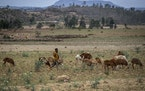 A young Ethiopian boy herds sheep north of Mekele, in the Tigray region of northern Ethiopia Friday, May 7, 2021.