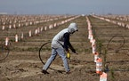 A worker sets up irrigation lines to water almond tree rootstocks along Road 36 in Tulare, Calif.