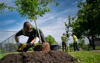 Workers last year with the Tree Trust replanted to replace 20 ash trees that were removed because of the ash borer. (Star Tribune file photo by Glen S