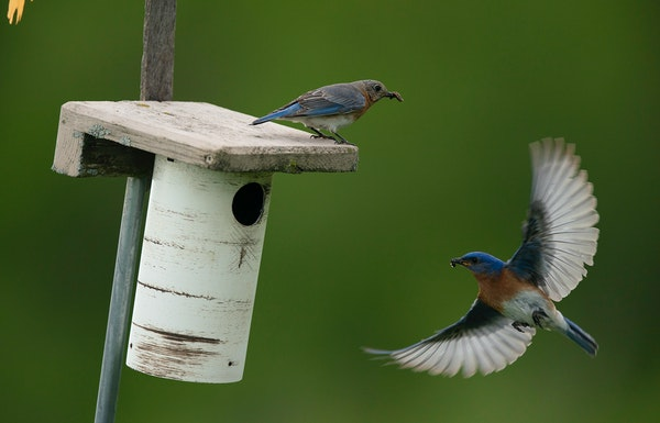 A nesting pair of bluebirds brought food for their hatchlings in 2019 to one of the nesting boxes monitored by Keith Radel in Faribault. The male is a