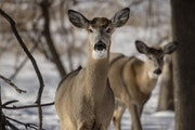 Domestic deer farms also will still be in business, continuing the chronic wasting disease (CWD) threat they pose not only to the state's 1 million