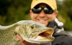 The DNR's latest muskie research will overlap diet and population studies.