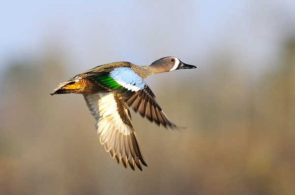 Blue-winged teal, hens as well as — shown here — drakes, will be legal fare along with cinnamon teal and green-winged teal during a new five-day S