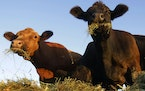 The effects of the drier-than-normal June are being felt first by Minnesota's cattle farmers, who have lost pasture grass to drought and must consid