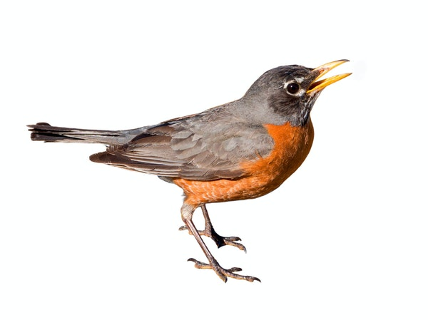 American robins and other birds are known to pant with their bills open owing to heat.