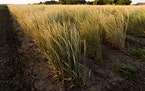 Kernza, a perennial wheat said to have environmental benefits, is shown here. A group of organic farmers is forming what they say is the first Kernza