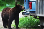 The drought's impact on their food sources could mean more nuisance activity from the state's bear population.