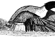 """Merganser, illustration from """"Within These Woods"""" by Timothy Goodwin. Riverfeet Press"""