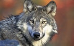 In October, federal wildlife officials announced the removal of the wolf's endangered species protections.