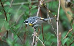 """White wing bars, a thin """"eyebrow,"""" and yellow foreshoulder patches and rump are among the field marks of the yellow-rumped warbler. The Peterson f"""