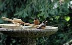 Keep bird baths filled to help the birds weather the heat.