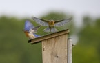 Eastern bluebirds were spotted during an early morning bird-watching expedition in a grassland near Battle Creek Park that could become housing.
