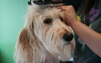 Ruby the goldendoodle was pampered by groomer Nikki Kilbo at the Maple Grove Bubbly Paws location.