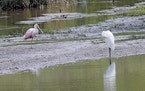 A roseate spoonbill, left, rests on a sandbar in a marshy area of Wilderness Park off Saline-Milan Road in Saline, Mich., on Tuesday, July 20, 2021. T