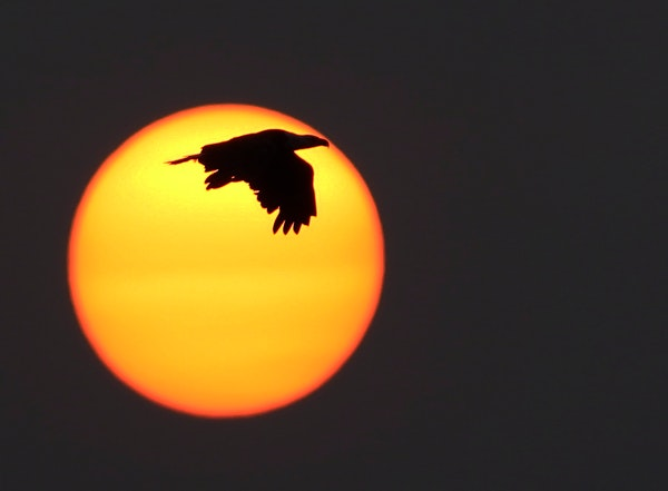 A bald eagle flew earlier this month in front of an unusually intense sunset in Siskiwit Bay in Cornucopia, Wis., because of northern wildfires.