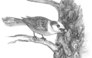 """Illustration from """"Birdpedia"""" by Christopher W. Leahy"""