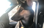GoGo was left in a vehicle over the weekend in St. Paul that was stolen. The dog was later found dead in the vehicle.  Credit: St. Paul Police Departm