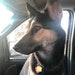GoGo was left in a vehicle over the weekend in St. Paul that was stolen. The dog was later found dead in the vehicle.