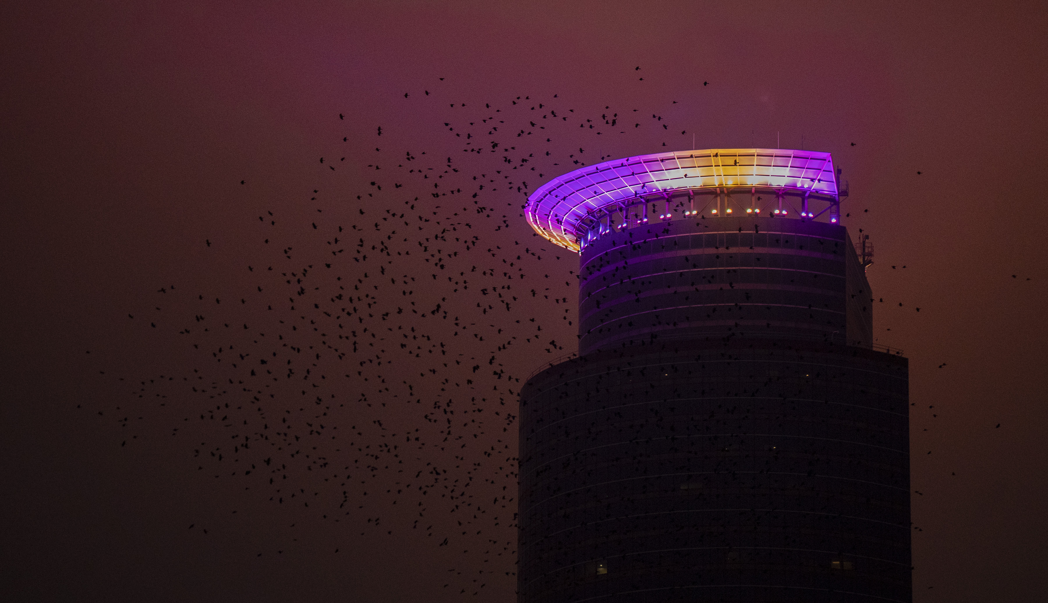 Crows or starlings circled Capella Tower in December 2020 after the Minnesota Vikings defeated the Jacksonville Jaguars. The crown was awash in purple and yellow light.