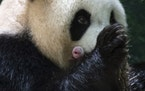 This handout photo released by the Beauval Zoo shows panda Huan Huan holding her new born female cub in Saint-Aignan, central France, Monday, Aug. 2,