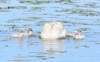 A swan parent dabbles underwater as cygnets swim around.