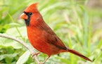 Northern cardinals are the state bird in seven states.