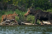 A mother moose returned to check on her calves as she foraged at dusk July 13 on Topaz Lake in the Boundary Waters Canoe Area Wilderness.